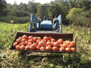 Kabocha harvest at Santa Cruz's Yellow Wall Farm, featured at Nov. 1 Farm to Table dinner at Pino Alto